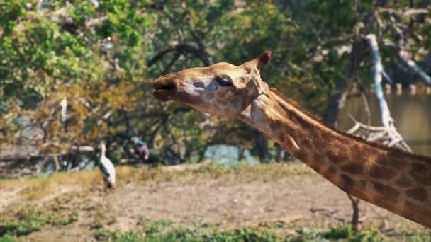Zsiráf az állatkertben rágás