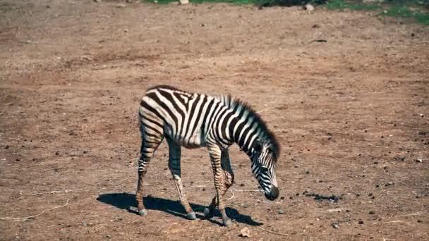 Roztomilá zebra v zoo