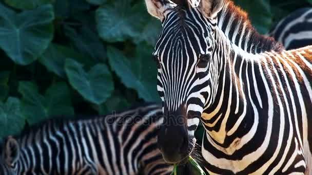 Roztomilá zebra jíst v zoo