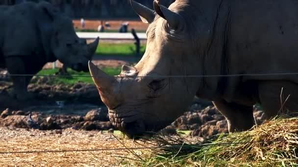 Südliche Breitmaulnashorn im zoo
