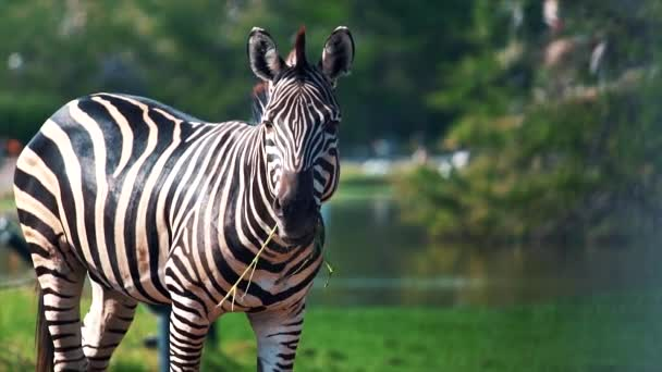 Cute zebra in the zoo farm