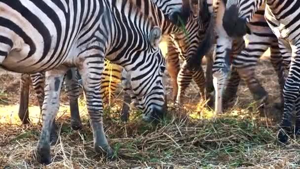 zebry v zoo jíst trávu