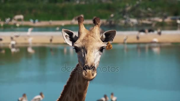 Žirafa na kameru