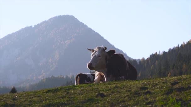 Roztomilé krávy na letní pastviny na západ slunce