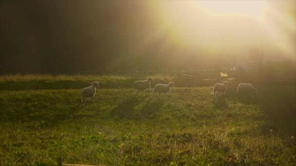 Sheep in a field with sunshine