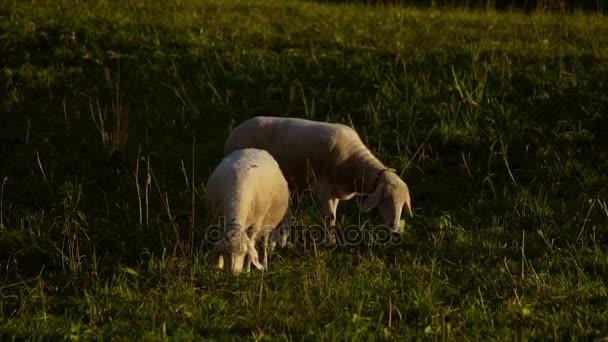 Ovce v poli při západu slunce