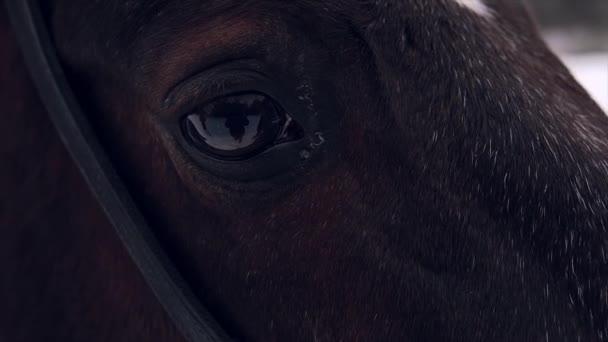 oko hnědé koně