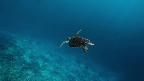 Swimming cute turtle in the blue ocean. Underwater scuba diving with sea turtle. Exotic island vacation with snorkeling. Wildlife on the tropical coral reef. Medium shot on RED camera, slow motion.