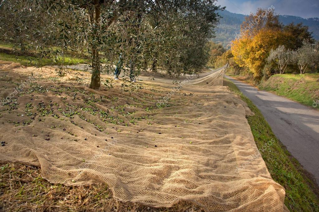 Bibbona, Tuscany, Italy, process of harvesting olives