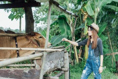 Woman feeding cows in farm. she wearing brown hat and jeans.