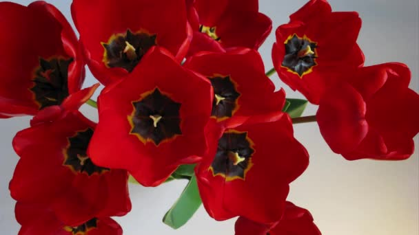 Close up Opening red tulips timelapse footage