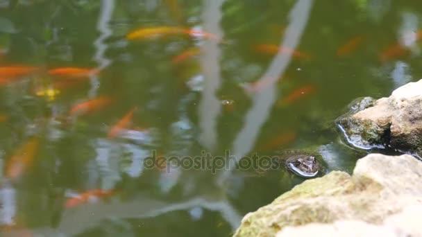 Skokan skřehotavý sedí v čistém rybníku