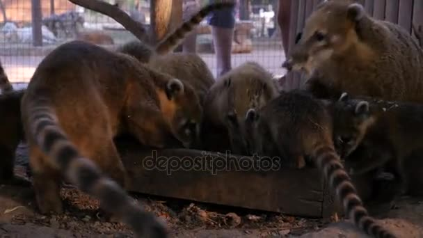 family of Coatis Ring-tailed at the zoo eat from the feeders in the evening close-up