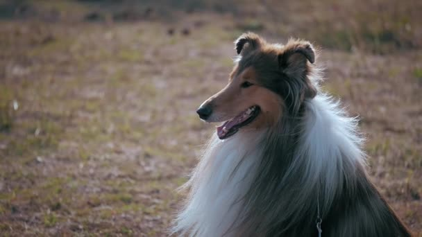 pet walk in the Park Close Up muzzle Profile Cute Rough Collie Dog Excitedly Smiling Staring and Panting,