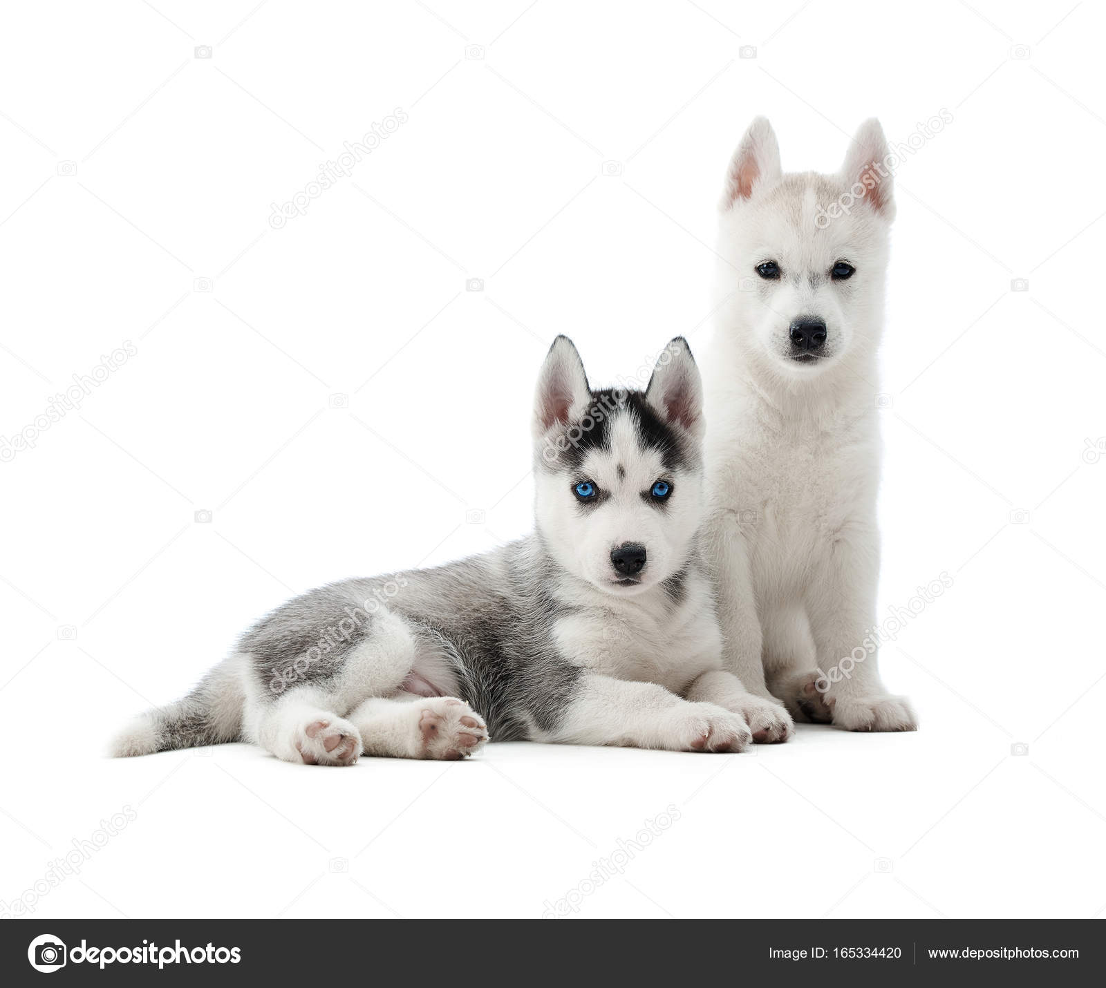Fotos Lobo Blanco Cachorro Cachorros Huskys Como Lobo Con Color