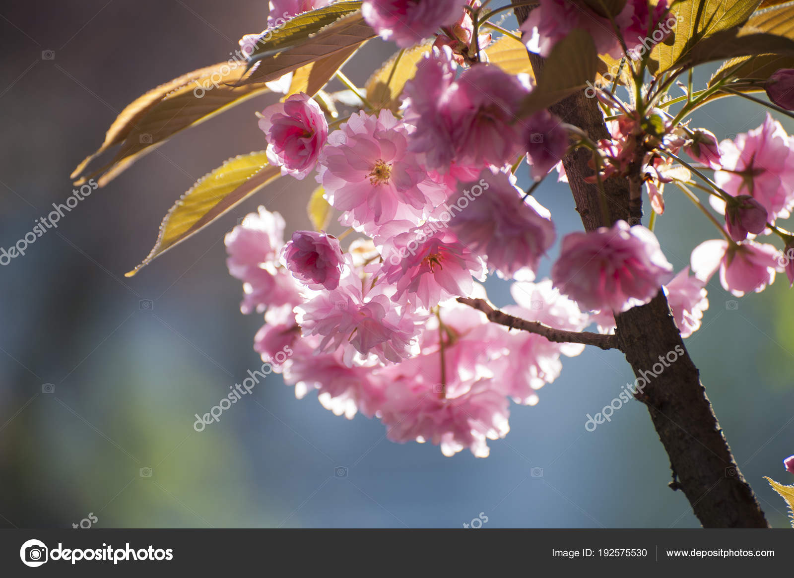 Rare pink sakuras flowers in bloom stock photo serhiibyk rare pink sakuras flowers in bloom stock photo mightylinksfo