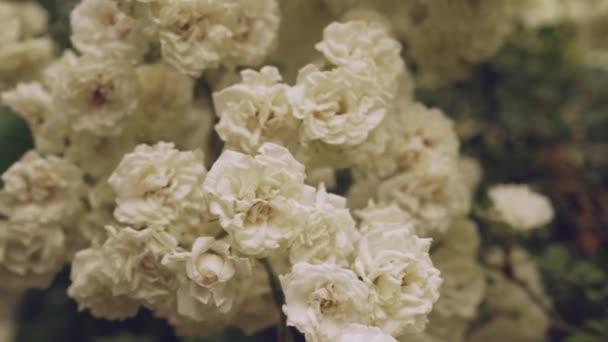 Detailní záběr jarních květů bílých růží na zelených keřích