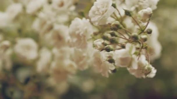 Květinová větev s bílými květy a malými pupeny na keřích