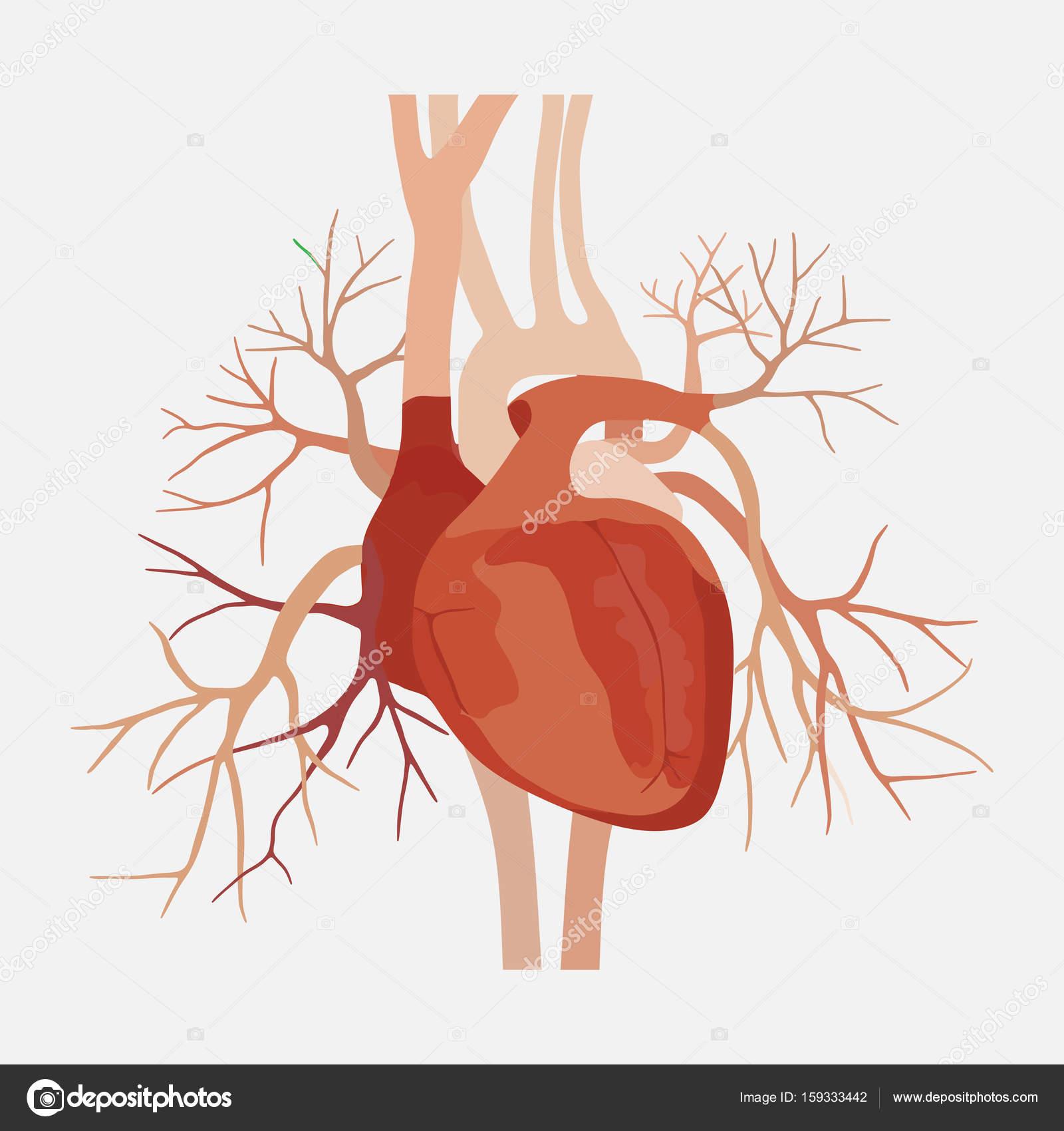 Anatomía del ser humano corazón, corazón, las aurículas, ciencia ...