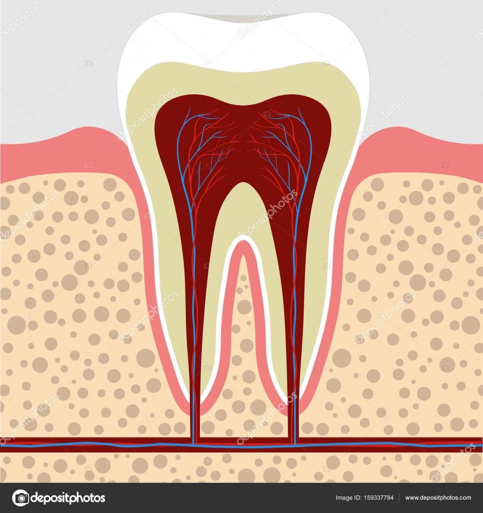 Zahn, Zahnfleisch im Querschnitt. Zahn-Wurzel-cana — Stockvektor ...