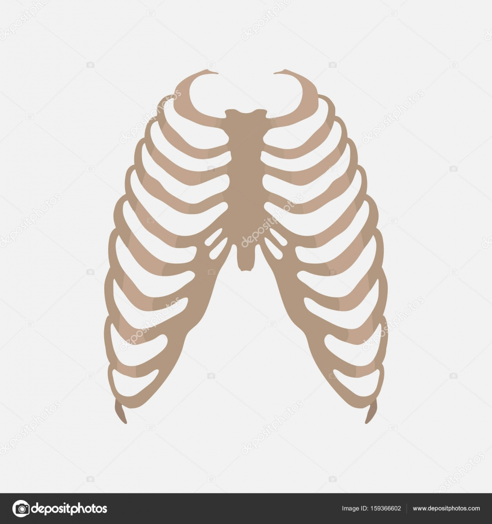Thorax Human Anatomy The Study Of The Body Stock Vector