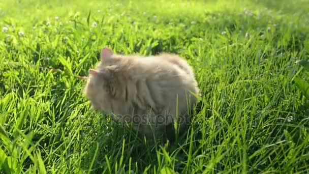 červená kočka chodí v trávě