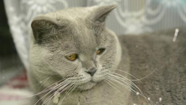 Fette blaue britische Katze auf der Synthesizertastatur liegend. große graue Katze ruht auf Klaviertastatur