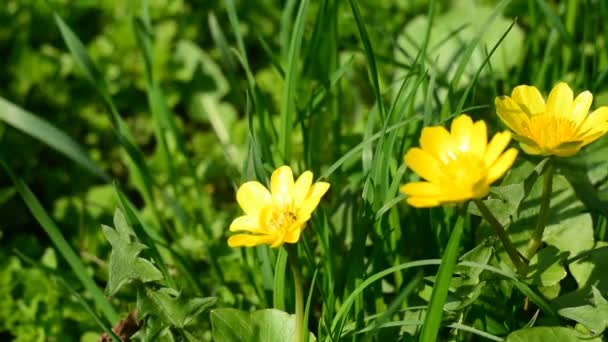 Small yellow flowers on the background of green grass stock video small yellow flowers on the background of green grass stock video mightylinksfo