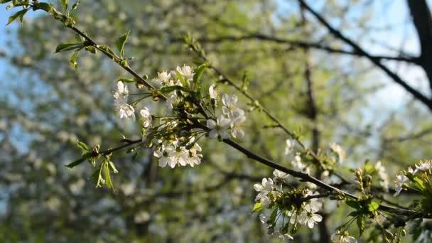 Az almafa virágzó ága tavasszal, könnyű széllel. Virágzó alma, gyönyörű fehér virágokkal. Virágzó almafa ága tavasszal a napfényes kertben.