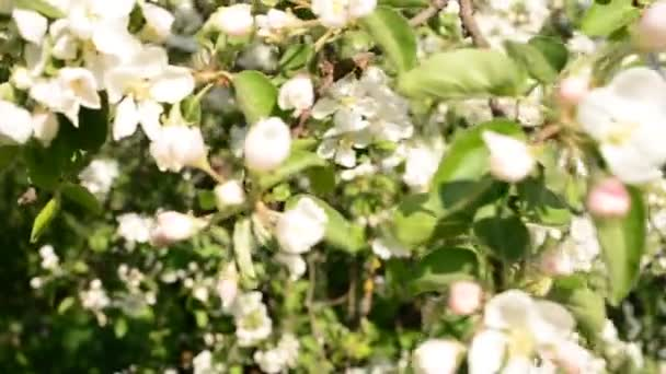 Blooming Apple Tree Small White Flowers Stock Video