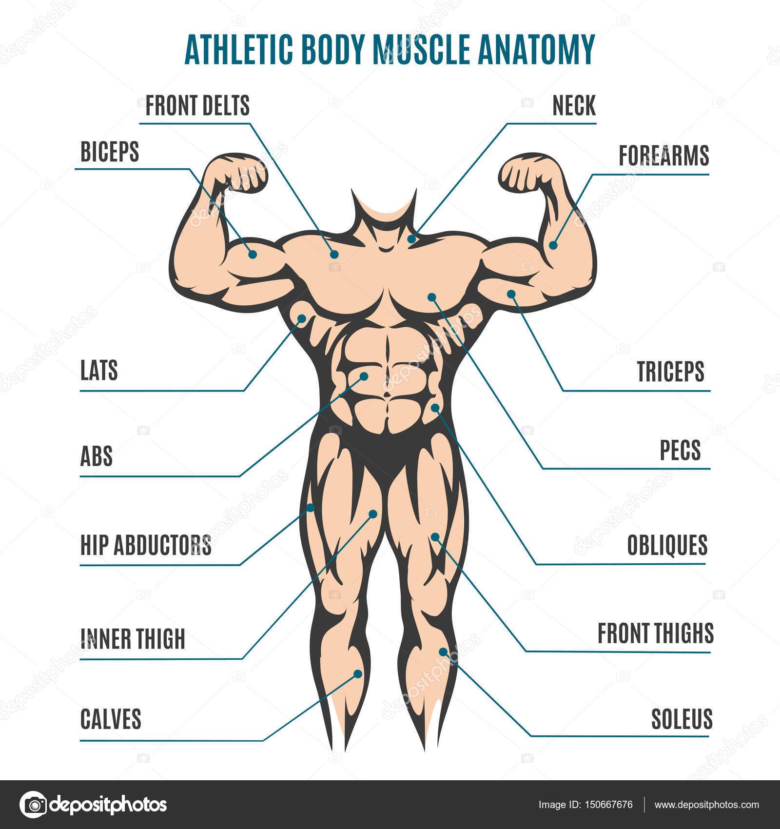 Athletischen Körper Mann Figur muskuläre Anatomie — Stockvektor ...