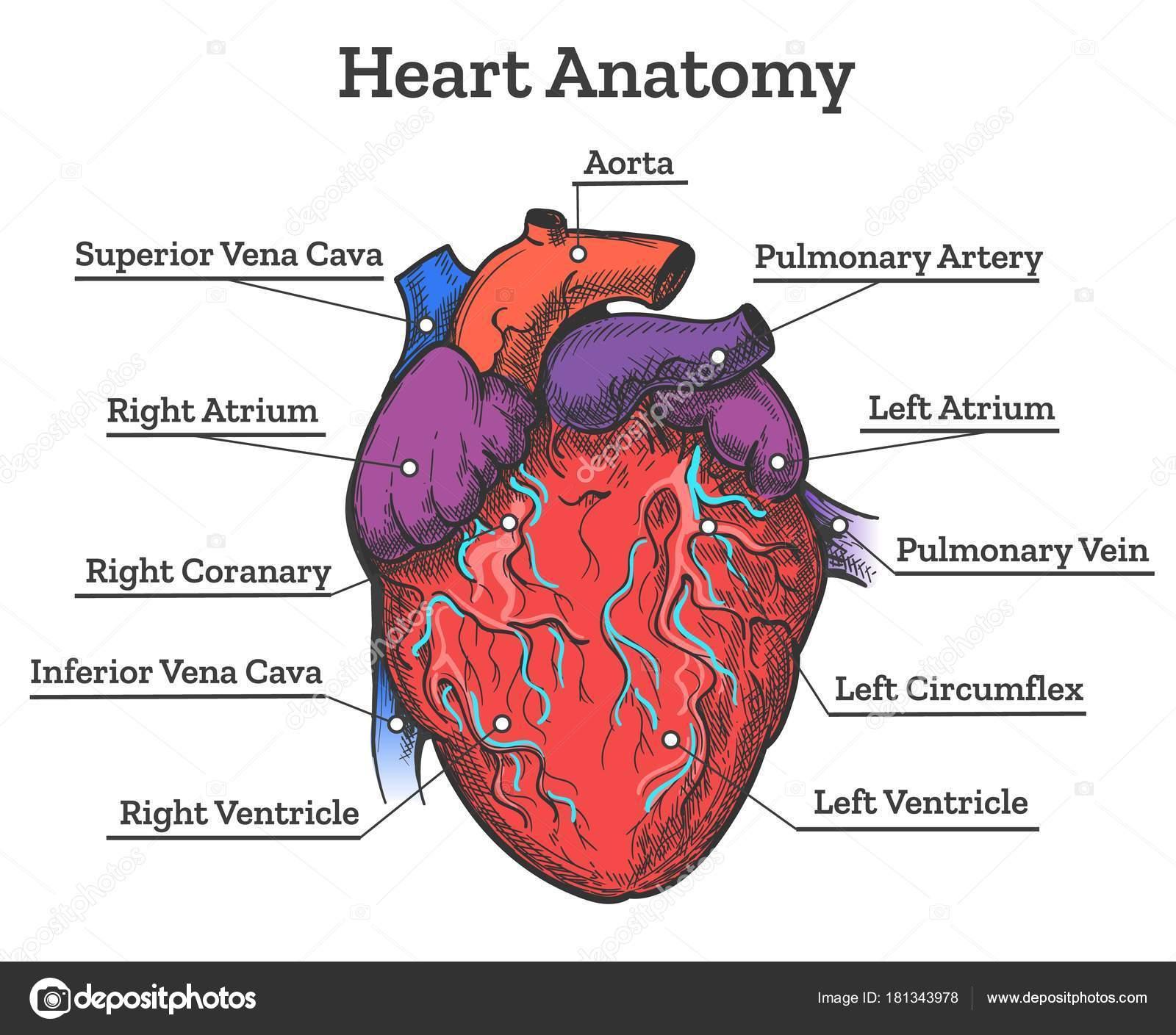 Dibujo coloreado de la anatomía de corazón — Vector de stock ...