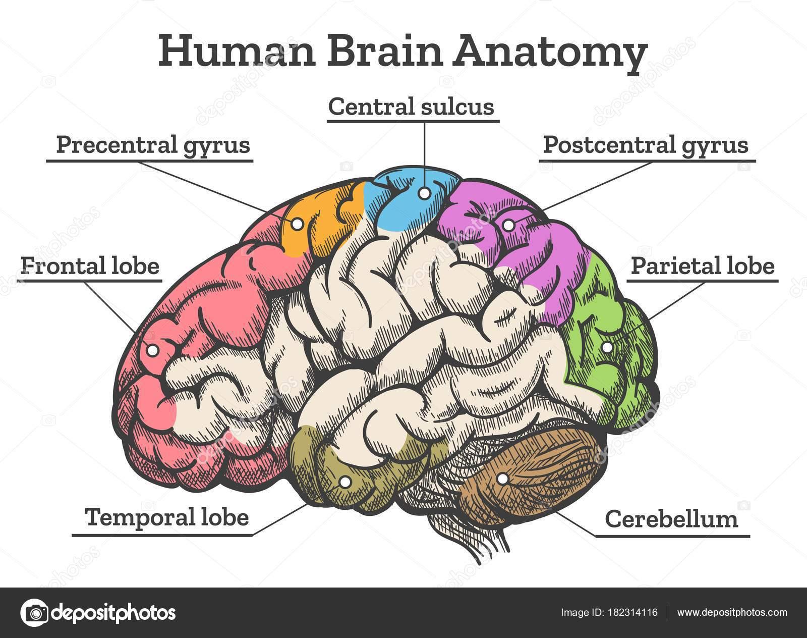 Esquema de anatomía del cerebro humano — Archivo Imágenes ...