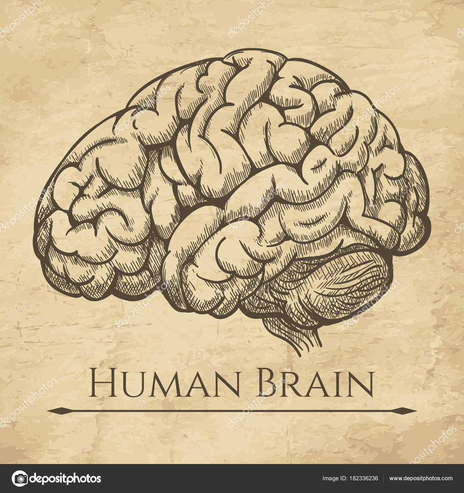 Retro grabado anatómico de cerebro — Archivo Imágenes Vectoriales ...