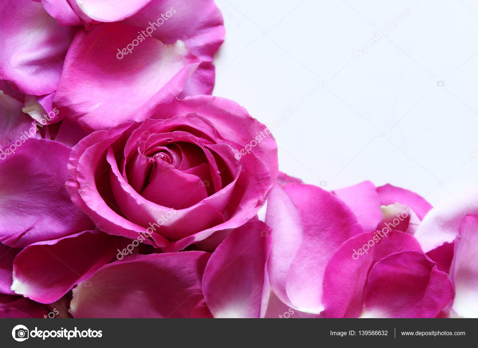Fuschia rose petals stock photo mppllc 139566632 hot pink rose background photo by mppllc mightylinksfo