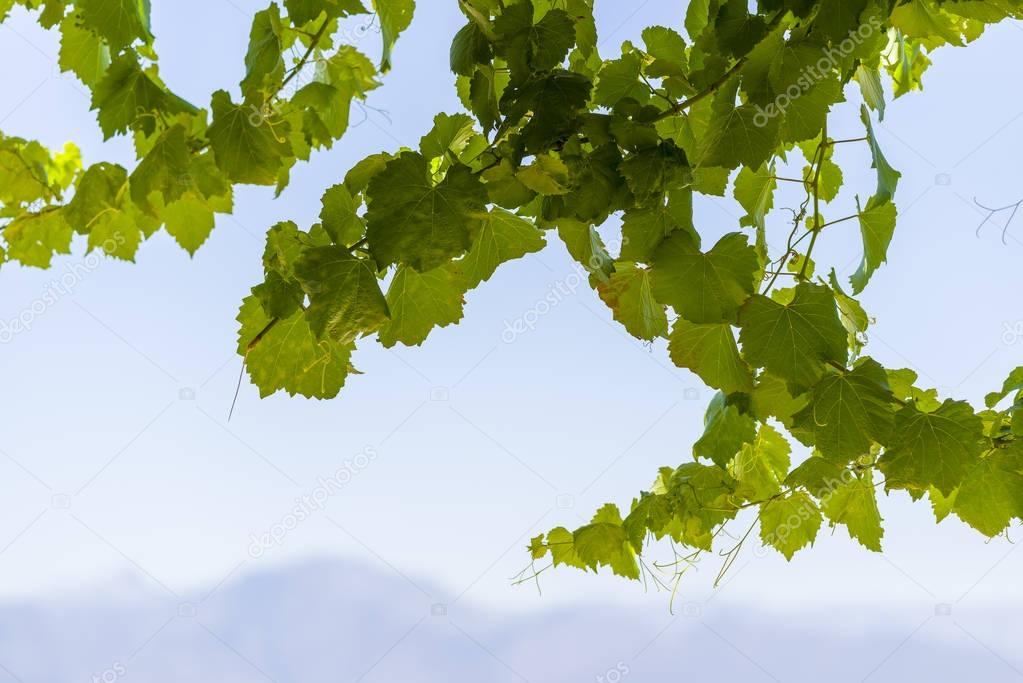 Grape vine and leaves