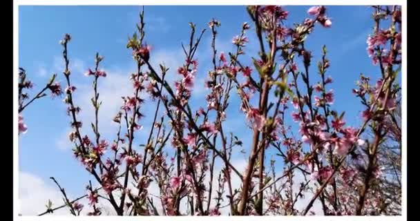 spring video with blossomed peach blossoms that give hope in Italy shaken by the coronavirus