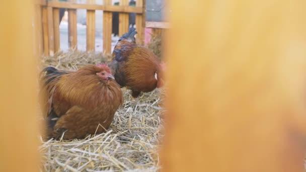 Tři domácí kuřata krmení