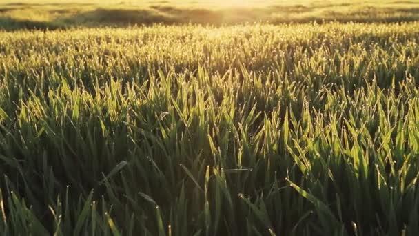 Kapky rosy v trávě