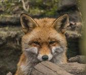 Liška v lese stromy v jarní hezký den