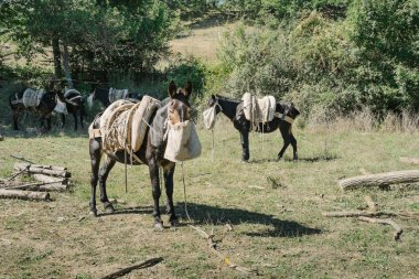 Working mules eating oats