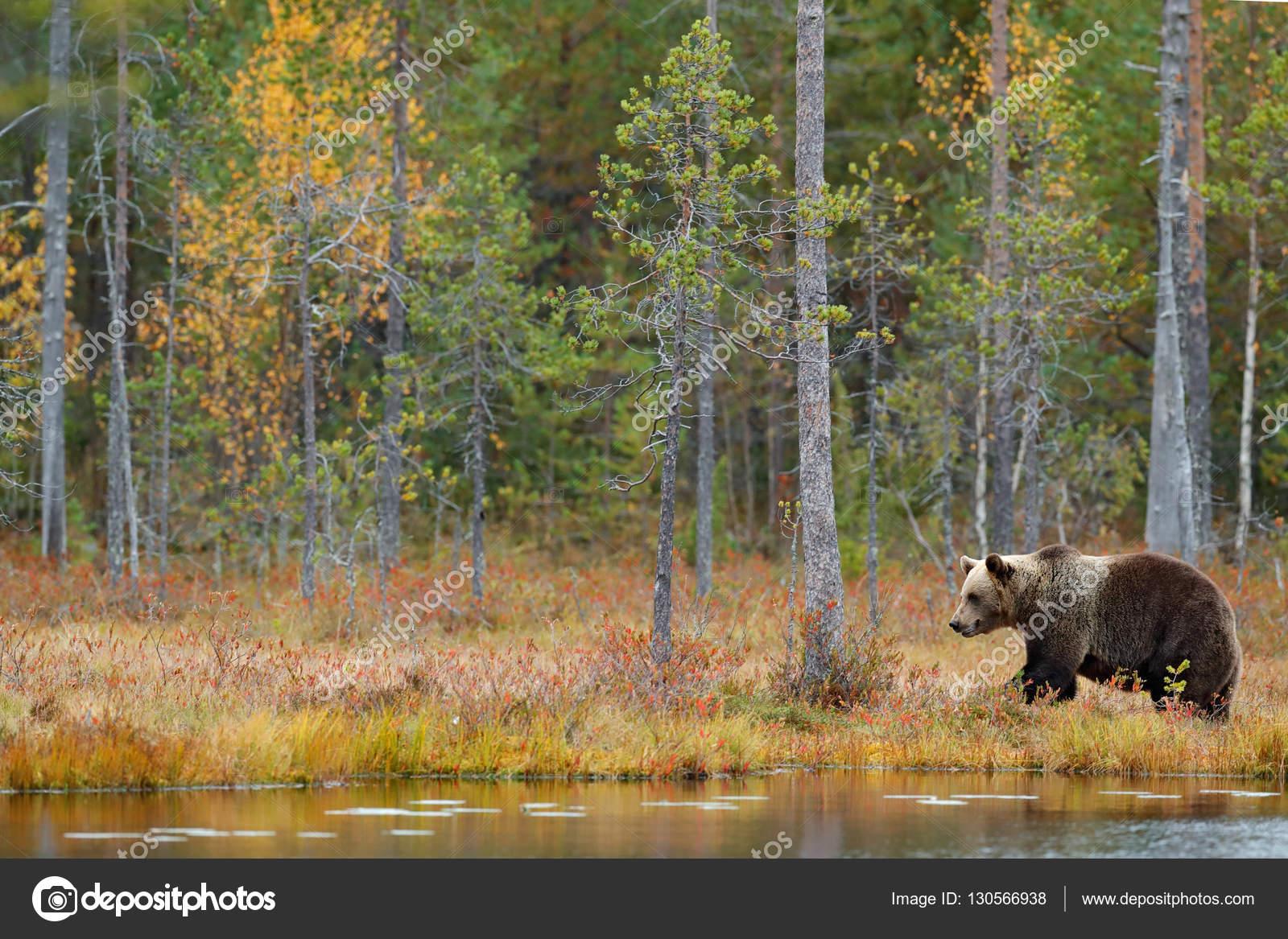 Orso che cammina intorno lago foto stock for Affitti cabina grande lago orso