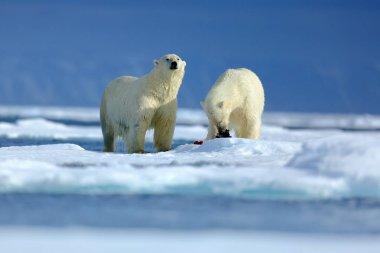 Wildlife scene with polar bears