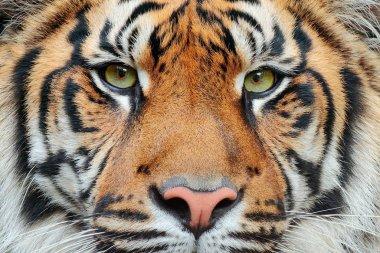 Wildlife scene of Wild cat tiger in forest stock vector