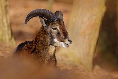 big Mouflon in forest