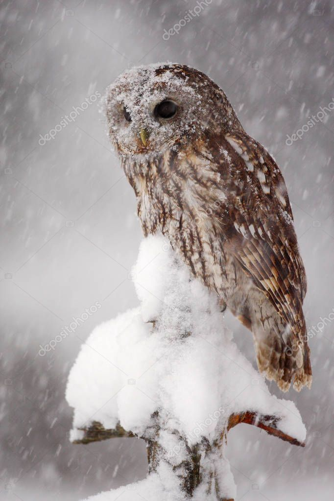 Beautiful owl in winter
