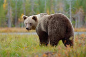 Photo Big brown bear