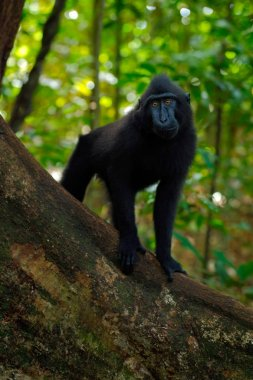 wild black monkey