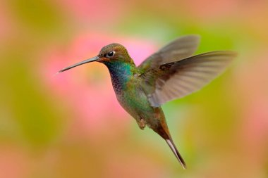 Flying hummingbird in nature