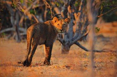 eautiful Lion in africa